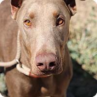 Adopt A Pet :: Arthur - Fillmore, CA