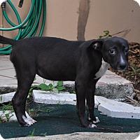 Adopt A Pet :: Louise - West Palm Beach, FL