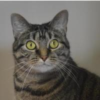 Domestic Shorthair/Domestic Shorthair Mix Cat for adoption in Lafayette, Indiana - Jacobella