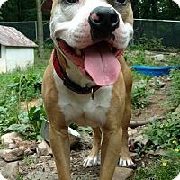 American Staffordshire Terrier Mix Dog for adoption in Pottsville, Pennsylvania - Milo