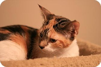 Domestic Shorthair Cat for adoption in Cary, North Carolina - Rhyme