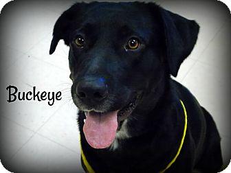 Labrador Retriever Mix Dog for adoption in Defiance, Ohio - Buckeye
