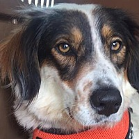 Adopt A Pet :: LOLA - Pine Grove, PA