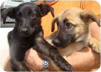 German Shepherd Dog/Labrador Retriever Mix Puppy for adoption in Haughton, Louisiana - Wendell's pups