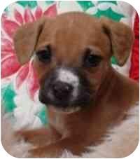 Rat Terrier/Boxer Mix Puppy for adoption in Brenham, Texas - Maddie