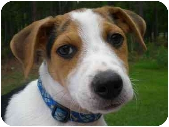 Jack Russell Terrier/Beagle Mix Puppy for adoption in Front Royal, Virginia - Max