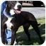 Photo 1 - Pit Bull Terrier/Terrier (Unknown Type, Medium) Mix Dog for adoption in Atlanta, Georgia - Reggie (FOSTER)
