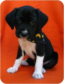Beagle/Terrier (Unknown Type, Small) Mix Puppy for adoption in Irvine, California - Al Capone