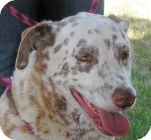 Dalmatian Mix Dog for adoption in Turlock, California - Preston