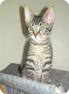 Domestic Shorthair Kitten for adoption in St. Louis, Missouri - Benjamin Button