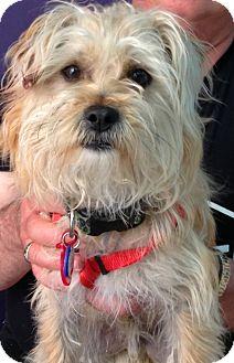 Yorkie, Yorkshire Terrier/Maltese Mix Dog for adoption in Thousand Oaks, California - Tony