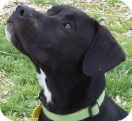 American Staffordshire Terrier/Labrador Retriever Mix Puppy for adoption in West Richland, Washington - Allsorts Pup- Jasper