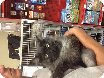 Maine Coon Cat for adoption in Santee, California - Smokey