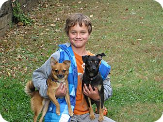 Chihuahua/Rat Terrier Mix Puppy for adoption in North Brunswick, New Jersey - Booker
