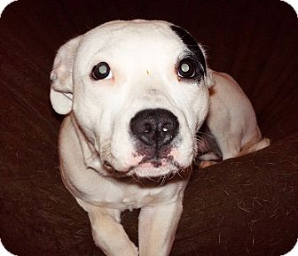American Pit Bull Terrier Mix Puppy for adoption in Reisterstown, Maryland - Stella