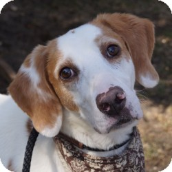 Foxhound Mix Dog for adoption in Eatontown, New Jersey - Grantland