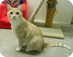 Domestic Shorthair Cat for adoption in Creston, British Columbia - Luc