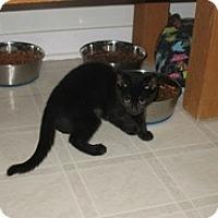 Adopt A Pet :: Koko - Shelton, WA
