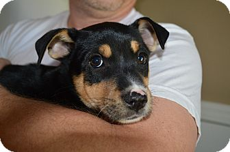 Border Collie Mix Puppy for adoption in Portsmouth, New Hampshire - Maisy