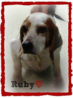 Beagle Mix Dog for adoption in Chester, Connecticut - Ruby