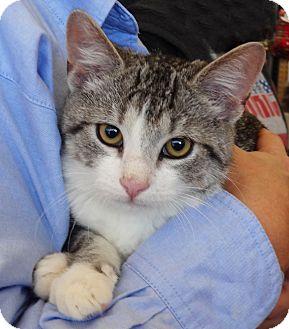 Domestic Shorthair Kitten for adoption in N. Billerica, Massachusetts - Hammer