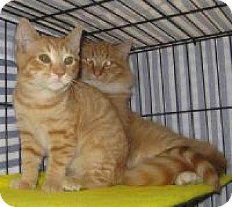 Domestic Longhair Cat for adoption in Mineral, Virginia - Thomas