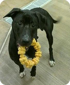 Shepherd (Unknown Type)/Labrador Retriever Mix Dog for adoption in Cleveland, Ohio - Lady