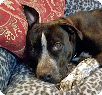 German Shorthaired Pointer Mix Dog for adoption in Warner Robins, Georgia - Bootstrap