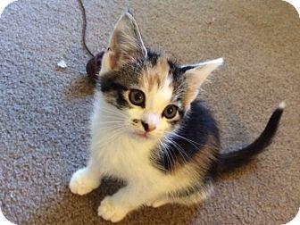 Calico Kitten for adoption in Irwin, Pennsylvania - Merilyn
