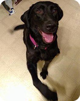 Labrador Retriever Dog for adoption in Oxford, Connecticut - Lilly