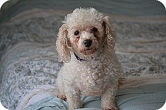 Miniature Poodle Mix Dog for adoption in Southington, Connecticut - Zoe