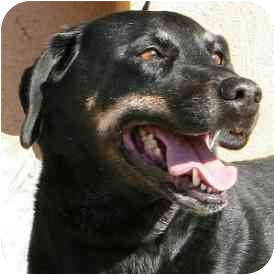 Rottweiler/Labrador Retriever Mix Dog for adoption in Berkeley, California - Roxy