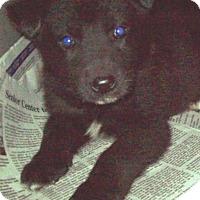 Adopt A Pet :: 3 HUSKY PUPPIES LEFT - Pompton Lakes, NJ