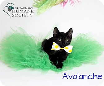 Domestic Shorthair Kitten for adoption in Covington, Louisiana - Avalanche