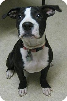 Terrier (Unknown Type, Medium) Mix Puppy for adoption in Gary, Indiana - Scooby