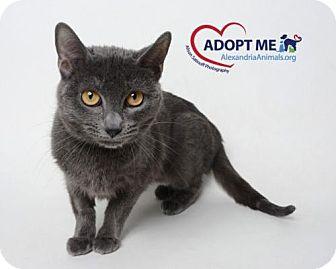 Domestic Shorthair Cat for adoption in Alexandria, Virginia - Azazel