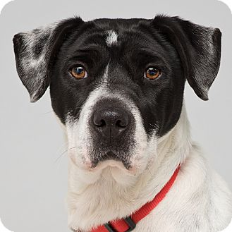Boxer/Dalmatian Mix Dog for adoption in Westfield, New York - Allie Jo
