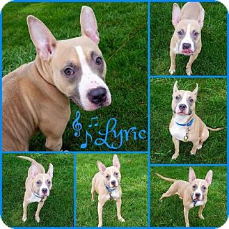 Pit Bull Terrier Mix Dog for adoption in Joliet, Illinois - Lyric