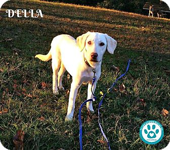 Labrador Retriever Mix Dog for adoption in Kimberton, Pennsylvania - Della