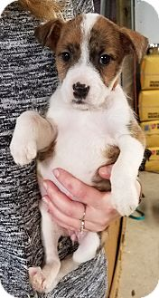 Mountain Cur Mix Puppy for adoption in Laingsburg, Michigan - Liv