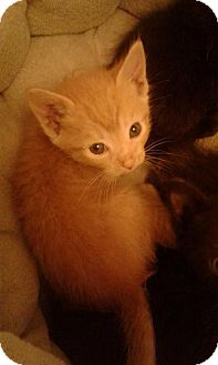 Domestic Shorthair Kitten for adoption in Corona, California - TIMMY