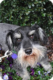 Schnauzer (Miniature) Dog for adoption in Atlanta, Georgia - Trevor