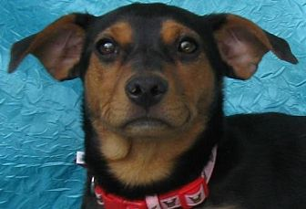 Feist Mix Dog for adoption in Cuba, New York - Emily Gabbey