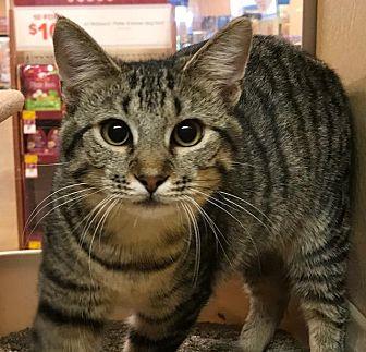 Domestic Shorthair Cat for adoption in New Bern, North Carolina - LORI (Kitten)