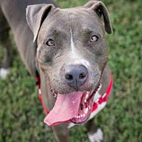 Pit Bull Terrier Mix Dog for adoption in Austin, Texas - CHLOE