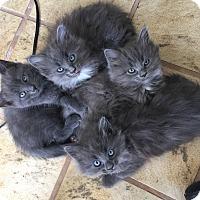 Adopt A Pet :: Gri - Denver, CO