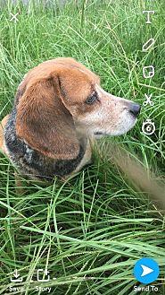 Beagle Dog for adoption in Jackson, Mississippi - Merry