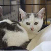 Domestic Shorthair/Domestic Shorthair Mix Cat for adoption in Ellicott City, Maryland - Elora