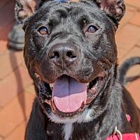 Adopt A Pet :: Chauncey - Washington, DC