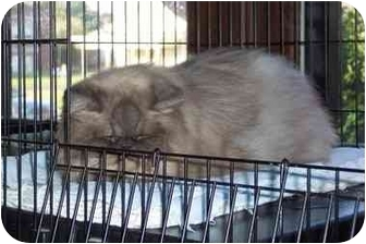Himalayan Cat for adoption in Jeffersonville, Indiana - Alex